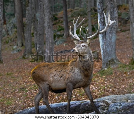 Wapiti posing for the camera in autumn.