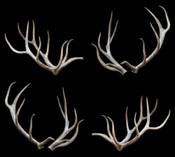 Wapiti Siberian - Antlers with clipping path