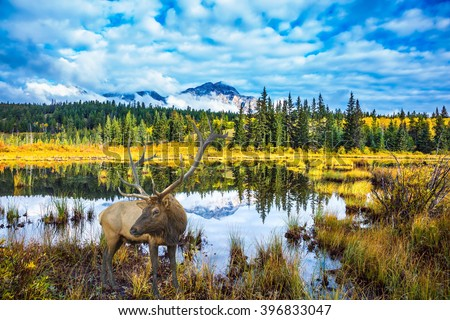 Warm autumn day in park Jasper, the Rocky Mountains of Canada. The red deer with branchy horns has a rest at the lake