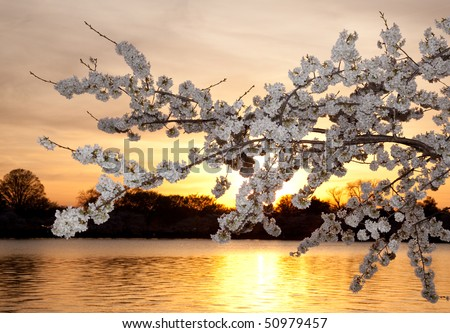 Warm colors of cherry blossom flowers against the setting sun in Washington DC