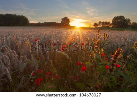 Warm sunlight shining over grain field and poppies