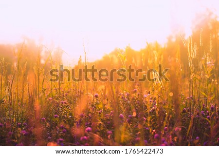 Warm Sunny meadow with clover flowers, spikelets and other wild grasses. Orange soft natural background with blur and bokeh