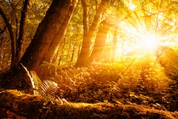 Warm sunrays illuminating a forest landscape with deciduous trees and gold foliage
