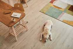 Warm toned high angle view at white Labrador dog lying on floor and waiting for owner in modern home interior, copy space