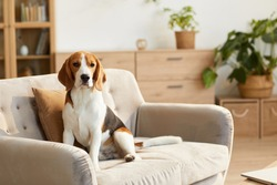 Warm toned portrait of cute beagle dog sitting on couch in cozy home interior lit by sunlight, copy space