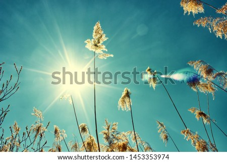 Warm weather on a summer morning. Cane is similar to tall tree in the sun. Reeds against the light blue sky. #1453353974