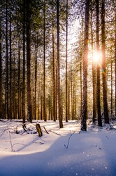 Warm winter sunset shining through a forest with tall pine trees on a clear winter day with snow covered ground. Winter snow landscape in a forest. View low to the ground with blurry snow flakes.