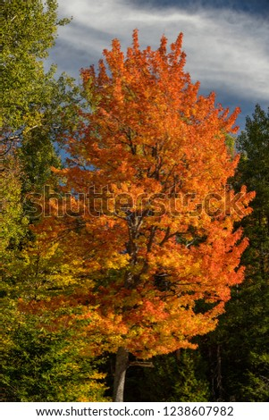 Warrensburg, NY/USA - October 2015:  A brilliantly colored Maple tree stands out in the late afternoon light.  Adirondack Mountain State Park, New York. #1238607982