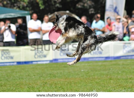 WARSAW - SEPTEMBER 4: Border collie dog catching a frisbee in air at the Dog Chow Disc Cup. September 4, 2011 in Warsaw, Poland