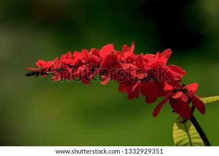 Warszewiczia is a flowering plant in the Rubiaceae family. They are mostly central and South American tropical trees. The most famous of the genus is W. coccinea (Chaconia), the national flower of Tri