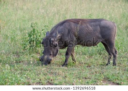 warthog African mammal mpumalanga kruger national park south africa #1392696518