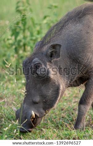 warthog African mammal mpumalanga kruger national park south africa #1392696527