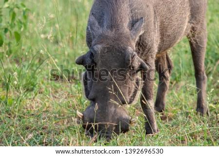 warthog African mammal mpumalanga kruger national park south africa #1392696530