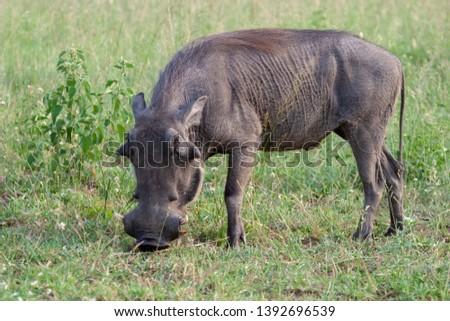 warthog African mammal mpumalanga kruger national park south africa #1392696539