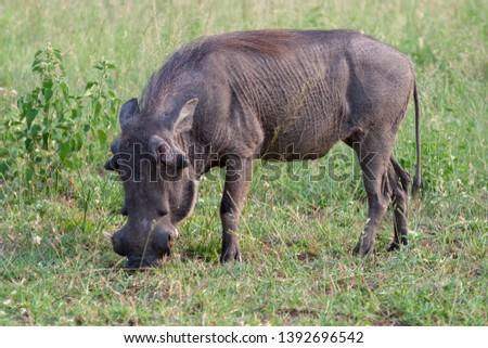 warthog African mammal mpumalanga kruger national park south africa #1392696542