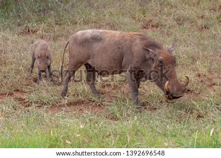 warthog African mammal mpumalanga kruger national park south africa #1392696548