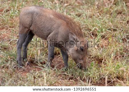 warthog African mammal mpumalanga kruger national park south africa #1392696551