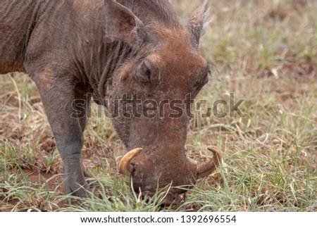 warthog African mammal mpumalanga kruger national park south africa #1392696554