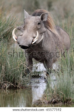 Warthog by water hole, Serengeti National Park, Tanzania, East Africa