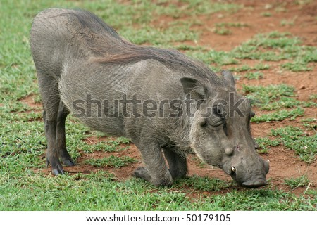 Warthog down on its knees grazing