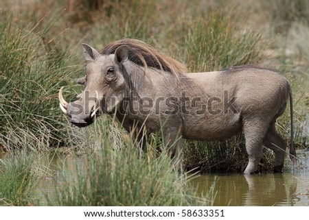 Warthog drinking in waterhole, Serengeti, Tanzania