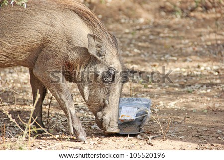 Warthog eating from litter