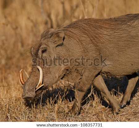 Warthog in the early light, South Africa - stock photo