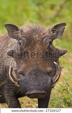 Warthog portrait; Phacochoerus Aethiopicus; South Africa - stock photo