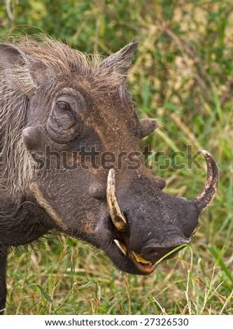 Warthog portrait; Phacochoerus Aethiopicus; South Africa