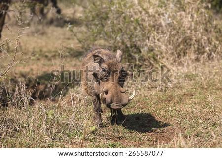 Warthog Wildlife Animal\ Warthog wildlife animal closeup in wilderness safari park reserve