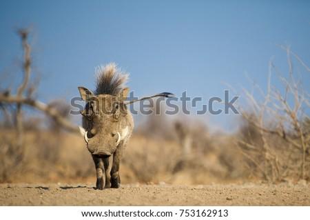 Warthog with a mohawk