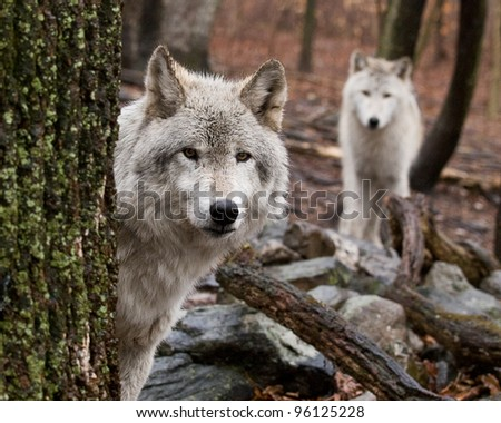 Wary Wolves