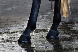 Wash horse's feet and hooves with water from a hose. New horseshoes. Golden light.