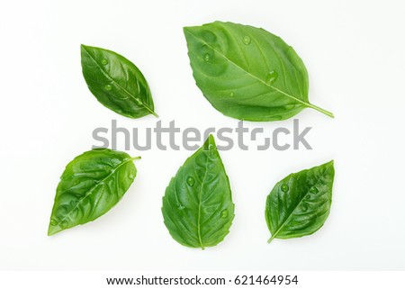 Washed Fresh Basil Leafs with Water Drops Isolated on White. #621464954