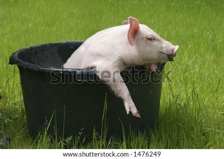 washing pig #1
