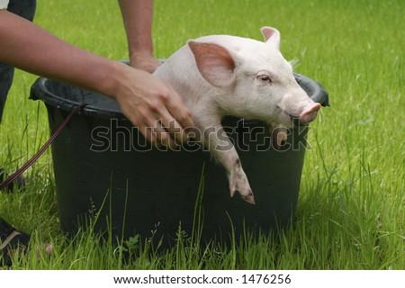 Pig Washing Washing Pig#2