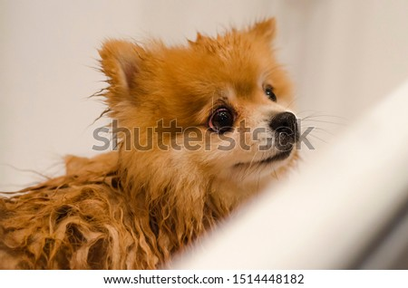 washing with shampoo and balm, grooming, drying, grooming and combing the dog. Hygiene Pomeranian German Spitz.