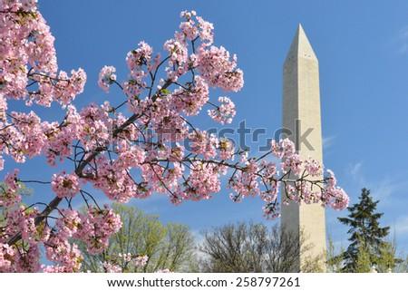 Washington DC in Spring - Cherry Blossoms an Washington Monument