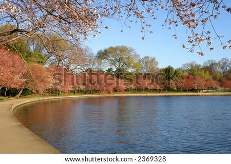 Washington DC Tidal Basin at Cherry Blossom Time