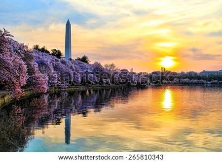 Washington Monument and Cherry Blossoms at Sunrise