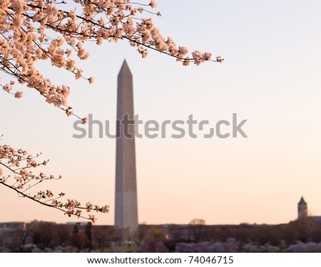 Washington Monument by Tidal Basin and surrounded by pink Japanese Cherry blossoms - stock photo