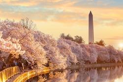 Washington Monument during the Cherry Blossom Festival. Washington, D.C. in USA