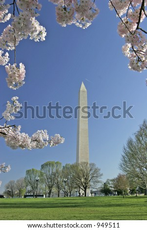 washington monument framed vertically with cherry blossoms blooming