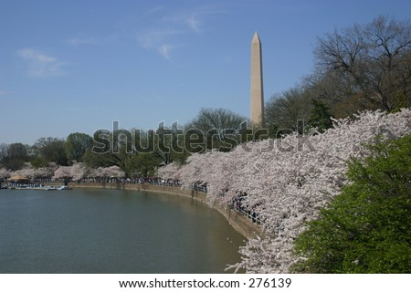washington monument from tidal basin (with blossoms) during annual cherry blossom festival. washington, dc. nice blue sky.
