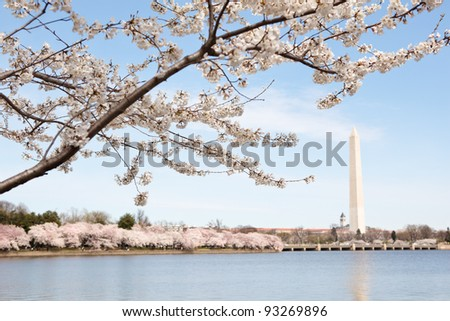 Washington monument in Washington DC under a cherry blossom tree in the spring