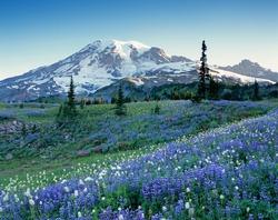 Washington State, Mount Rainier National Park, Lupine and Bistort meadow on Mazama Ridge