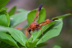 wasp big red insect on green plant leaf, animal, grass, garden, wildlife outdoor arthropods envirenment