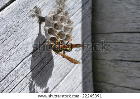 Wasp Building Its Vespiary Wasps Nest On Wooden Surface