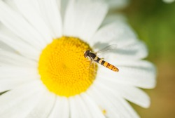 Wasp close-up on a camomile. Yellow-white flower. White petals background. Yellow pistil and stamens. The wasp pollinates the flower. Background - chamomile. Macro filming.