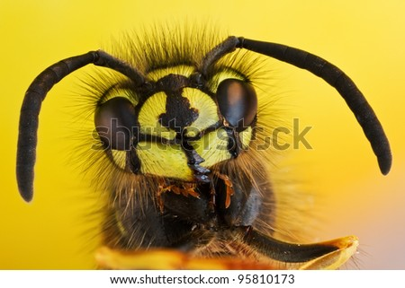 wasp close-up - Vespula vulgaris